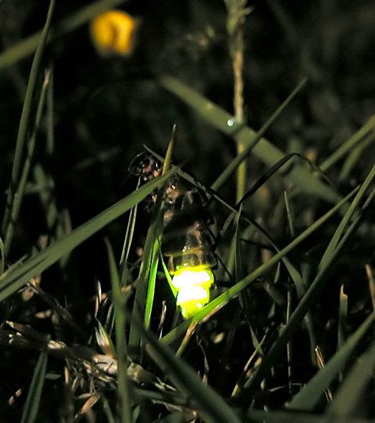 531px-Glow_worm_305654931