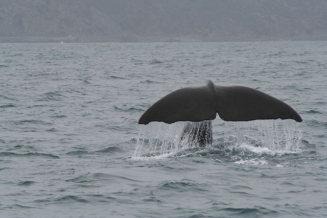 640px-Spermwhale_tail