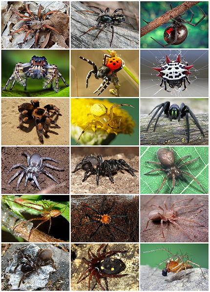 430px-Spiders_Diversity