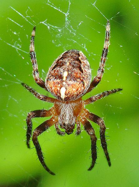 446px-Araneus_diadematus