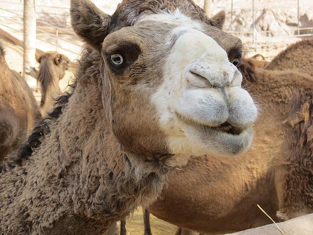 camel-1467362_640