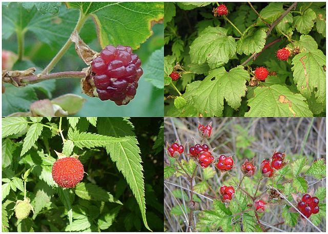 640px-Raspberries,_fruit_of_four_species