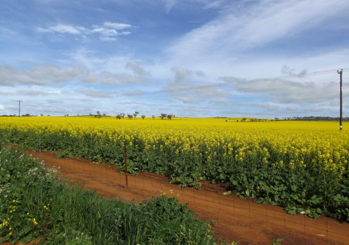 canola-fields-large