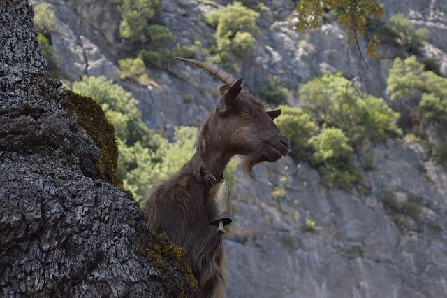 mountain-goat-1576294_640