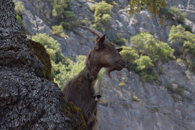 mountain-goat-1576294_640