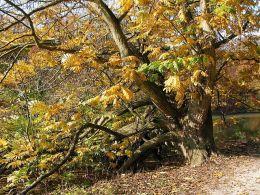 640px-0_pterocarya_fraxinifolia_-_la_hulpe_1