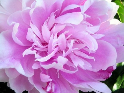 peony-close-up