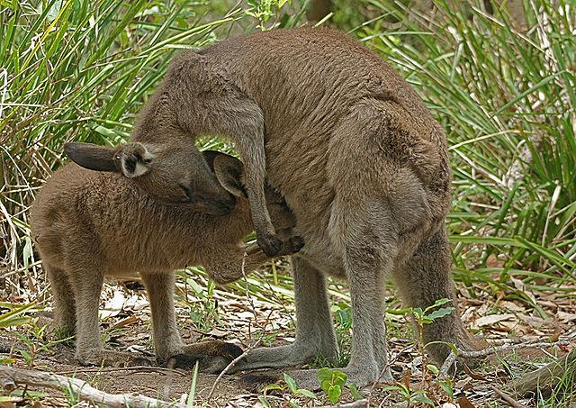 640px-eastern_grey_kangaroo_feeding
