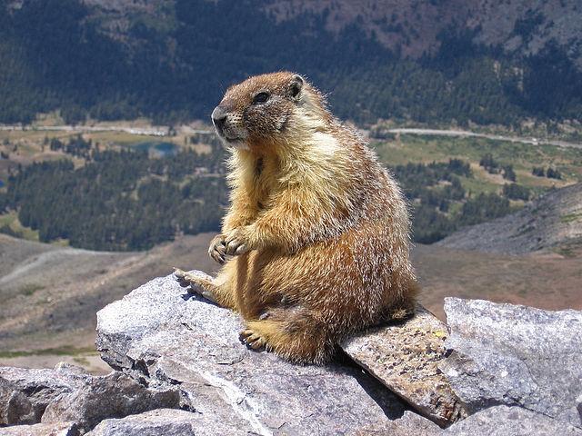 640px-marmot