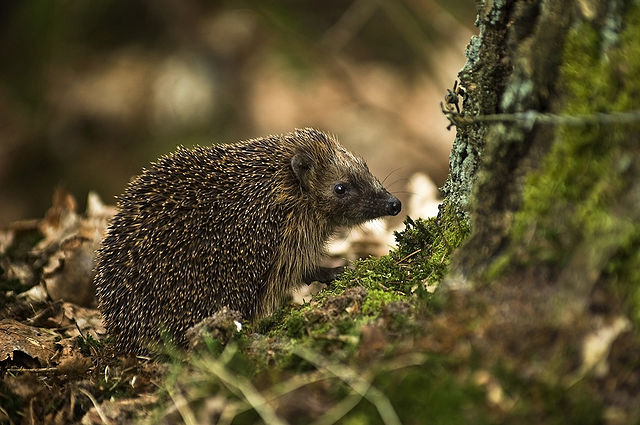 640px-west_european_hedgehog_erinaceus_europaeus1