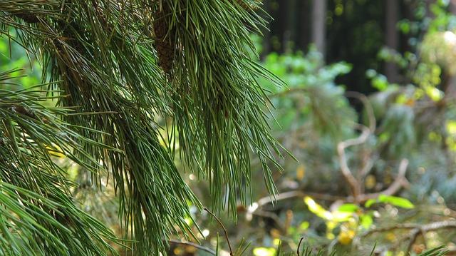 pine-1704185_640