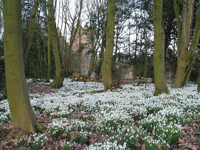 640px-bank_hall_snowdrops_feb_2009