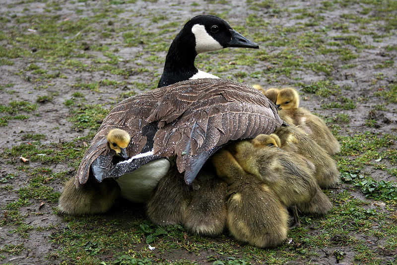 800px-mother_shelters_goslings