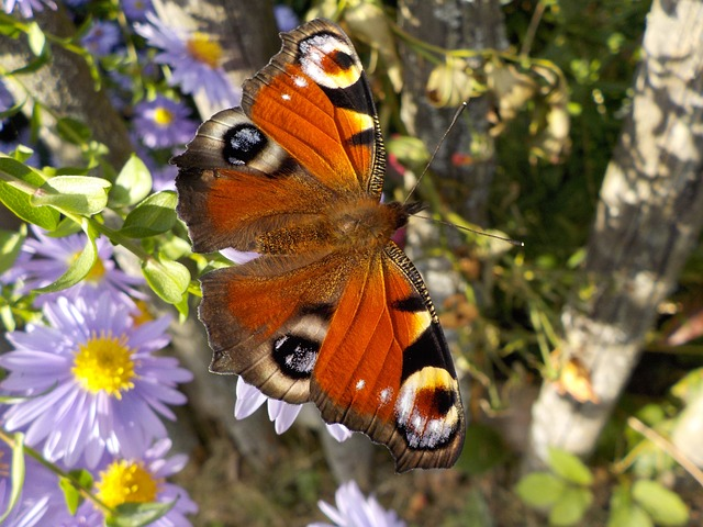 peacock-butterfly-484423_640
