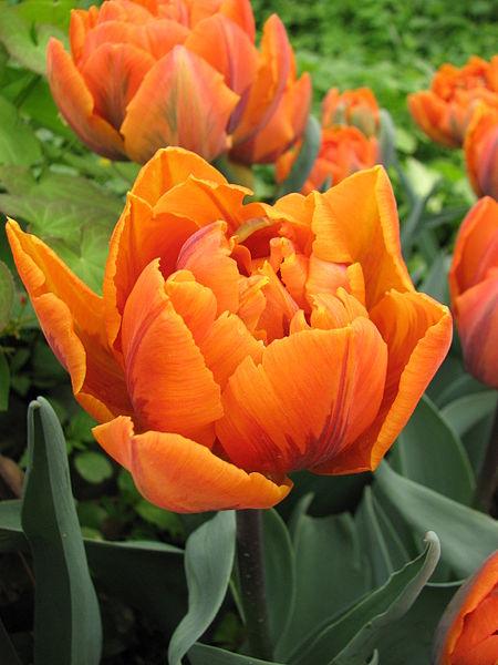 450px-tulip_double_cv-_12
