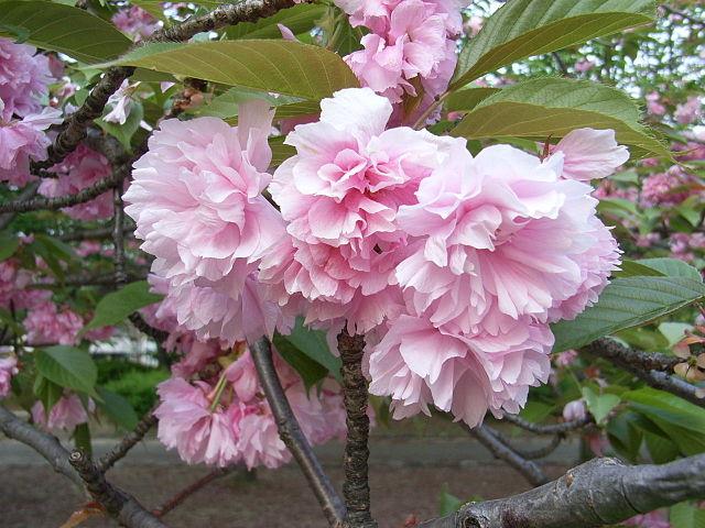 640px-cherry-blossomjpg