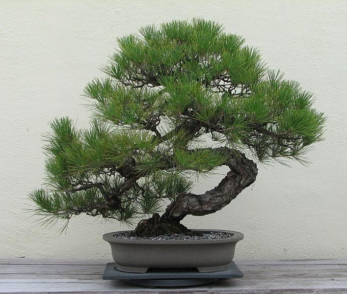 707px-japanese_black_pine_1936-2007