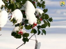 holly_berries_in_the_snow_8246571625