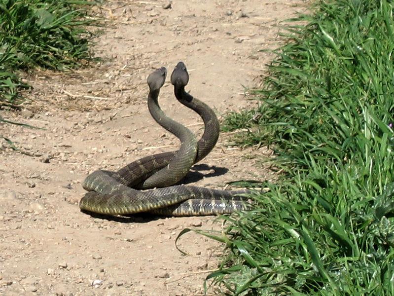 799px-Rattlesnake_Dance_01