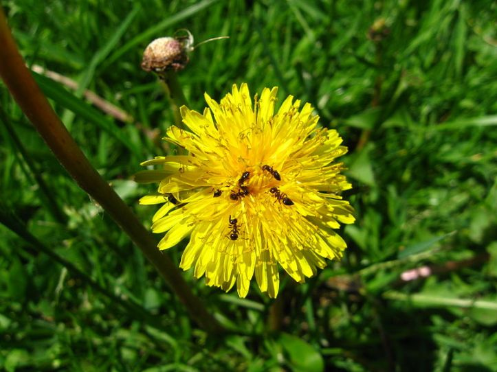 800px-Ants_on_a_dandelion
