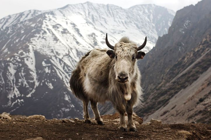 800px-Bos_grunniens_at_Letdar_on_Annapurna_Circuit