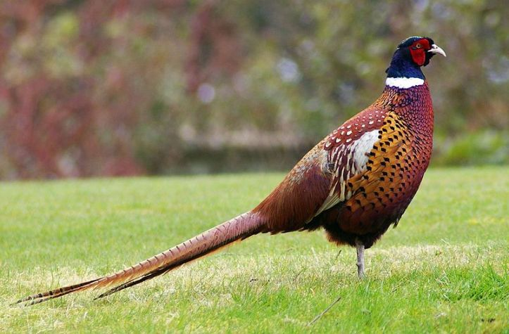 800px-Pheasant