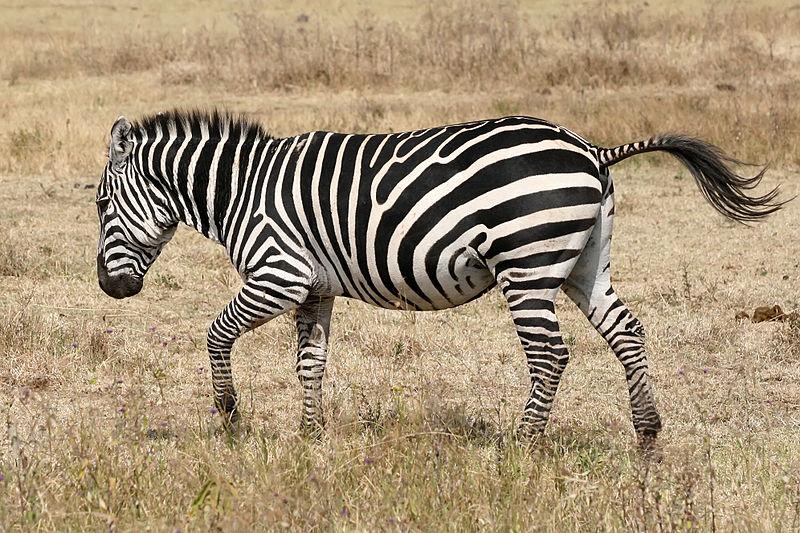 800px-Zebra_running_Ngorongoro