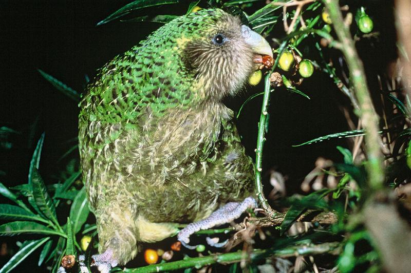 Kakapo_Trevor_feeding_on_poroporo_fruit