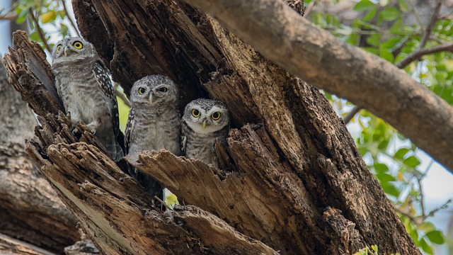 the-spotted-owlet-2289914_640