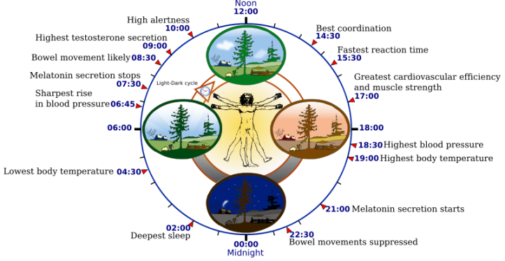 800px-Biological_clock_human.svg