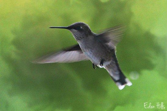 hummingbird-ew