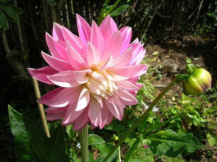 800px-Dahlia_'Alloway_Candy'