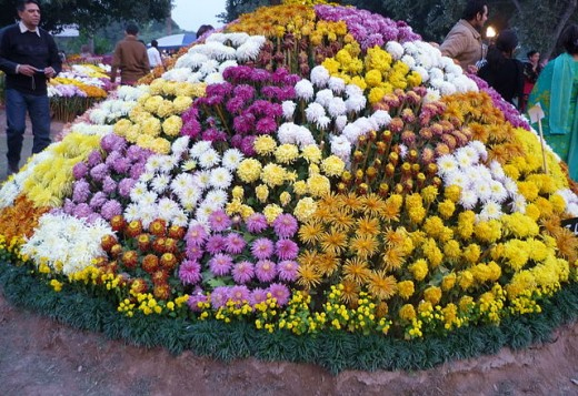 Chrysanthemum show