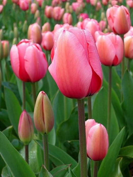 Tulip floriade