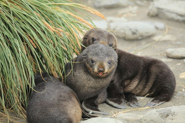 800px-Antarctic_Fur_Seal_Pups_play_amid_Tussock_Grass