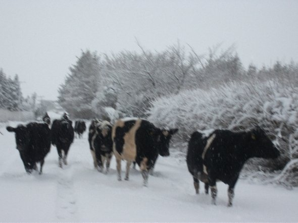 draft_lens19059175module156564217photo_5_1327457413Cows_coming_home_to_be_feed