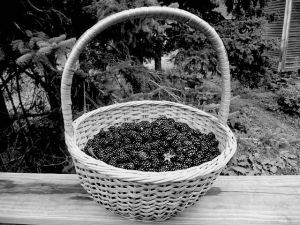 640px-Basket_of_wild_blackberries copy