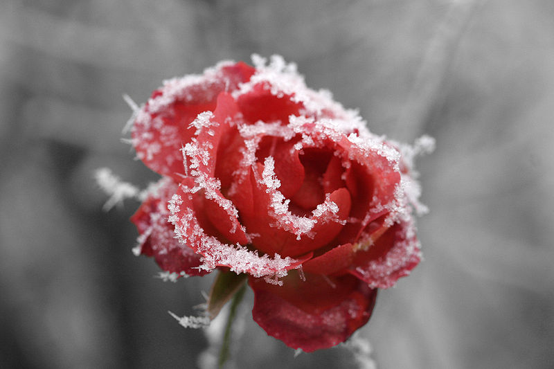 800px-Frosted_rose_01