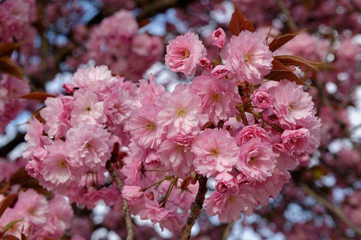 800px-Prunus_serrulata_Kanzan_blossom