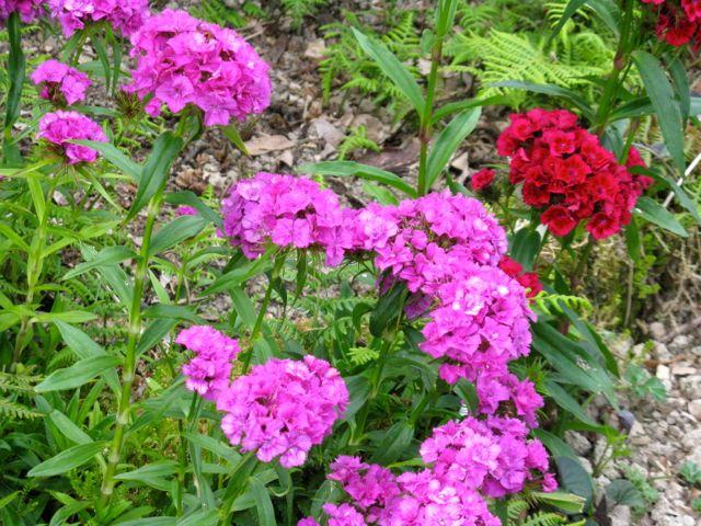 Pink Sweet William Flowers