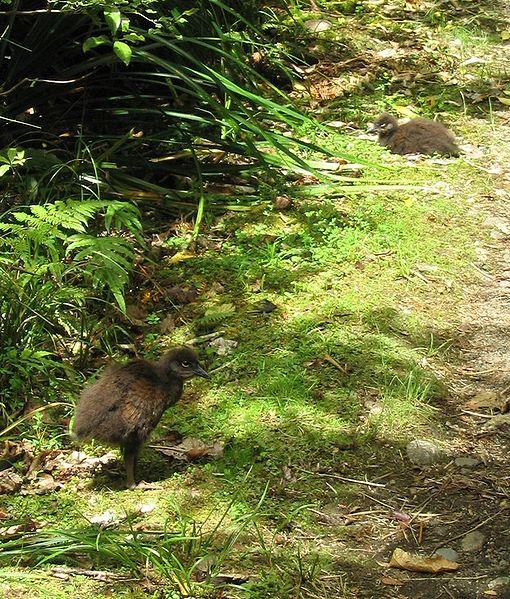 510px-Weka_chick,_Heaphy_Track,_NZ