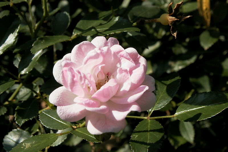 800px-The_Fairy_Rose