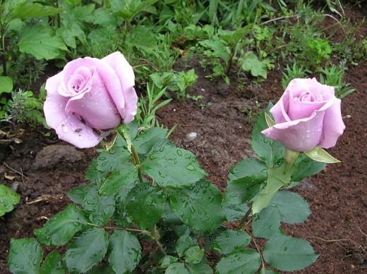 Rosa Angel Face Rose
