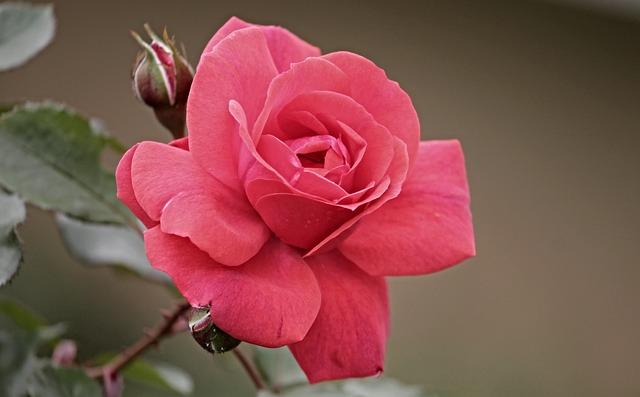 rose-2888885_640