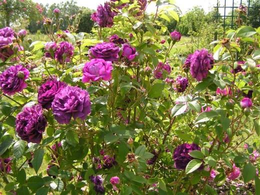 Tuscany Superb Rose