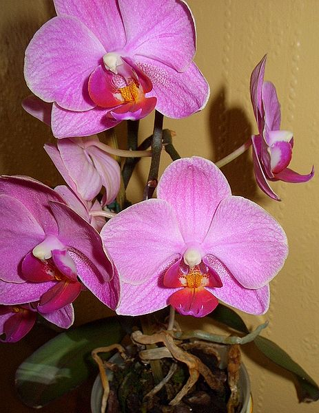 463px-Phalaenopsis_Moth_Pink_Orchids (1)