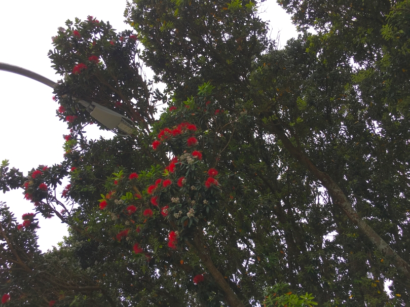 Pohutukawa Tree – Version 2