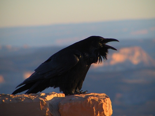 raven-2060767_640