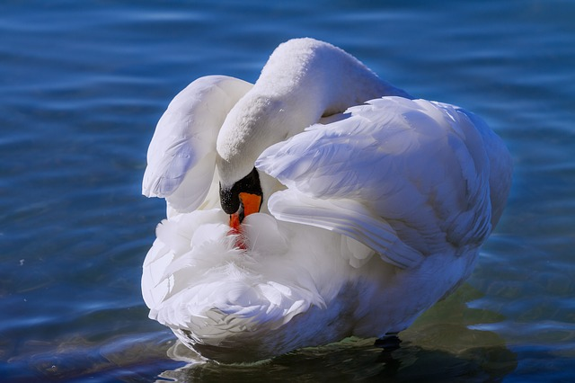 swan-3127119_640