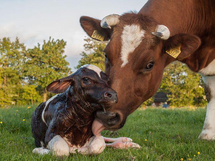799px-New_born_Frisian_red_white_calf